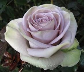 Цветы оптом от производителя киев нивки, доставка цветов павловская