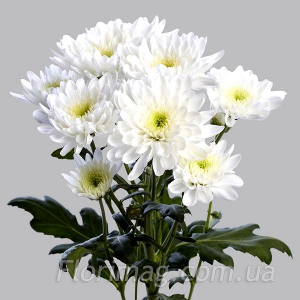 Цветы голландия купить заказать цветов по москве
