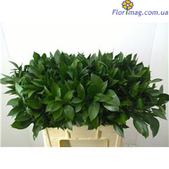 Ruscus  garden plants