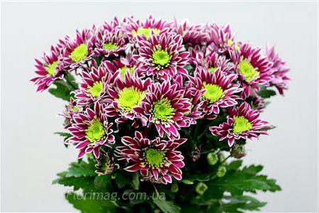 Цветы хризантемы купить оптовые закупки доставка цветов ниж.новгород