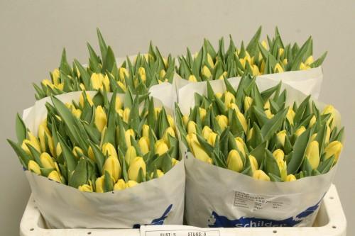 Продаю оптом цветы тюльпанов с нидерландов украина, цветы живые купить в москве до 1300
