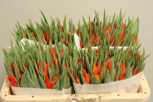 Цветы тюльпан оптом днепропетровске, букеты на выпускной 11 класс прикольный